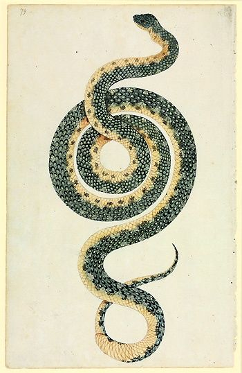 Morelia spilota, diamond python. Watercolour 40 by the Port Jackson Painter from Banks Manuscript 34, (c. 1790).